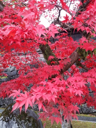 Beautiful red leaves in the park